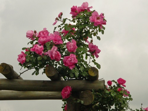 roses in the mist