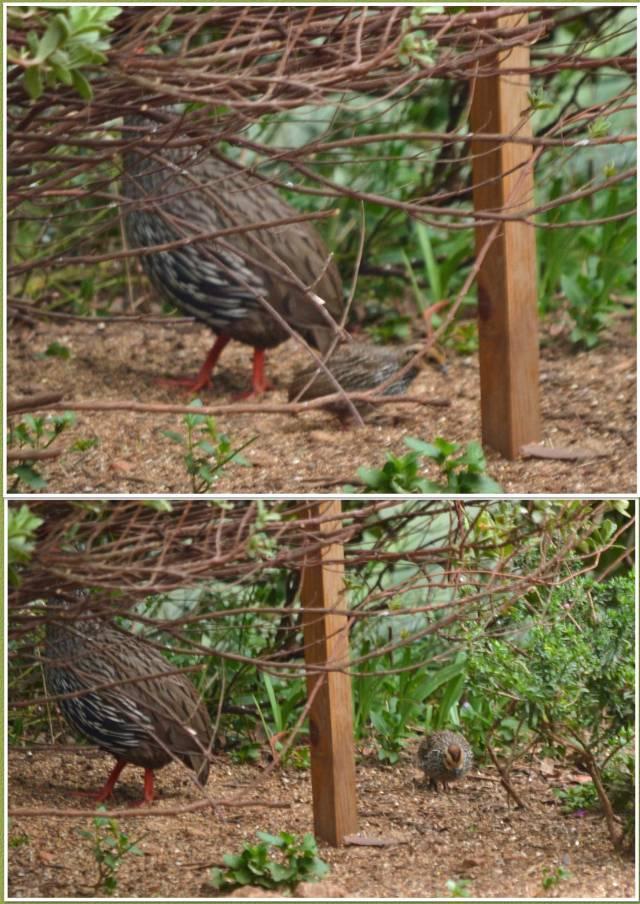 francolin-chick